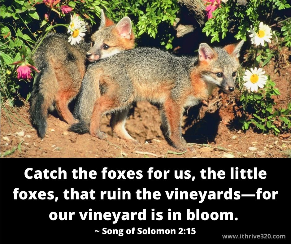 Song of Solomon - Little Foxes and the need to renew love